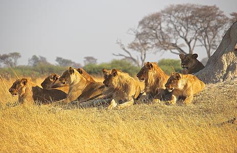 amimals, lions, africa, predator, pride, wildlife, safari