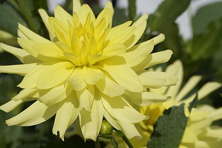 dàlia, groc, brillant, flor, flor, flor, jardí de flors