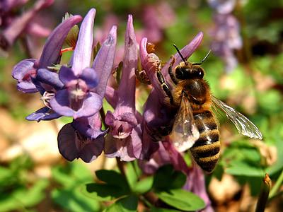 abella, flor, natura, abella de la mel, insecte, les abelles, porpra