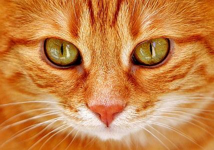 котка, очите, котешки очи, лицето, Тигър, скумрия, червена котка