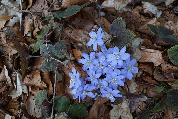 hepatica, bos, Wild flower, blauw, bosbodem, grond, Blossom