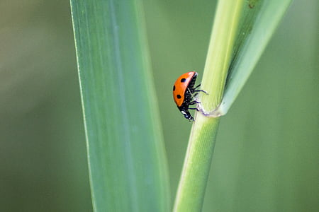 Ladybird, bọ rùa, côn trùng, bọ cánh cứng, lỗi, màu đỏ, mùa xuân