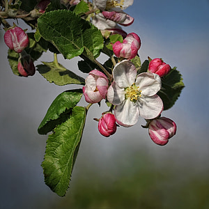 apple blossom, apple tree, blossom, bloom, orchard, apple tree blossom