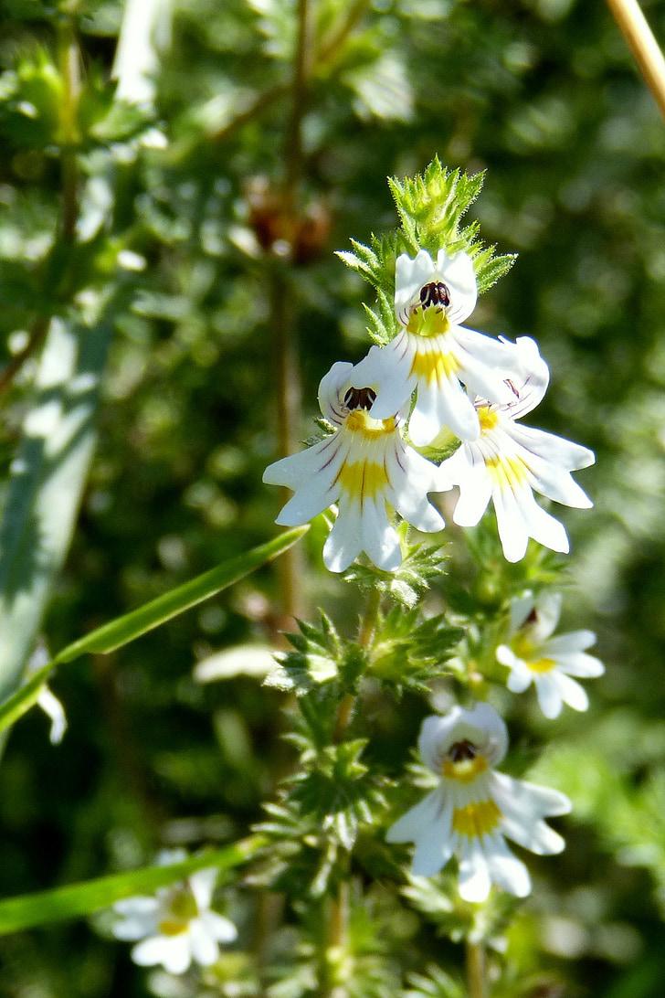 Eyebright, Euphrasia officinalis, cvet, cvet, cvet, bela, naturopathy