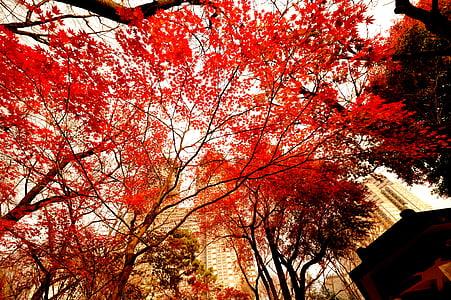 autumnal leaves, evening, japan, tokyo, shinjuku, tokyo government office, natural