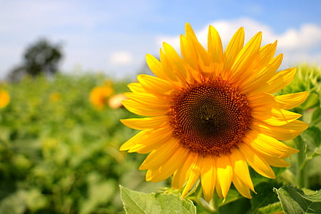 thailand, sunflower, yellow, farming, nature, agriculture, summer