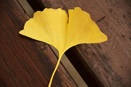 ginkgo, ginkgo leaf, yellow, autumn, welkes sheet, withered, yellow sheet