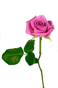 上升, 花, 粉色, 绽放, 宏观, 花, 粉红色的花