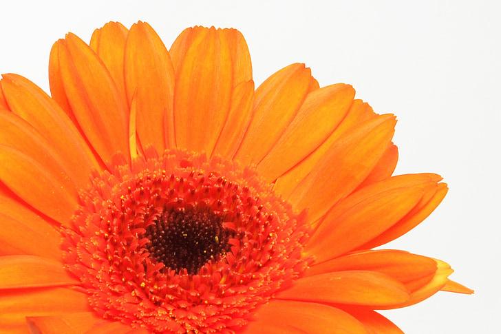非洲菊, germini, 花, 春天, 开花, 绽放, 亲情