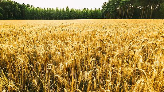 Viljapõllu, metsa, loodus, põllumajandus, pilved, maastik, väli