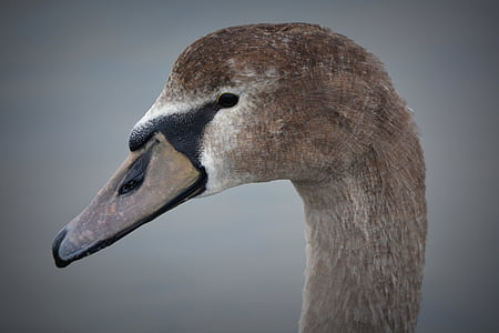 swan, beak, animal, nature, whooper swan, waterfowl, bird