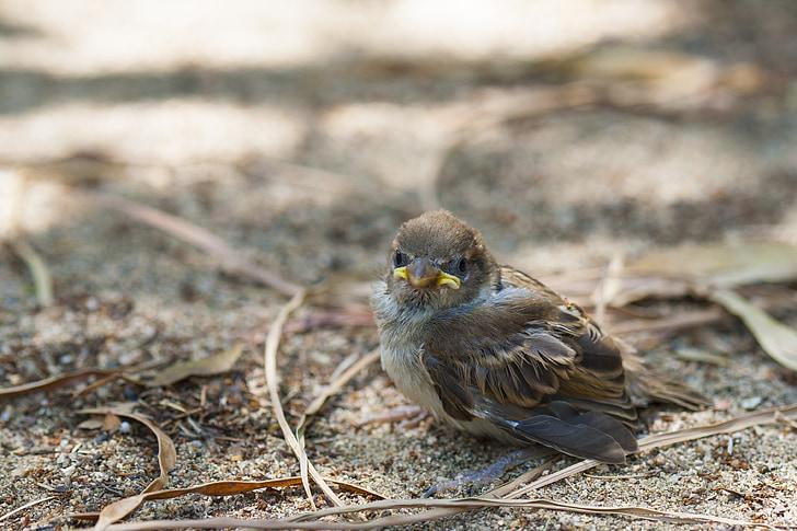 ptáček, malý vrabec, malé, dorost, ztracené, zobák, Příroda