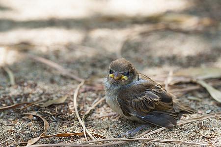 малка птичка, малка врабче, малки, кученце, изгубени, клюн, природата