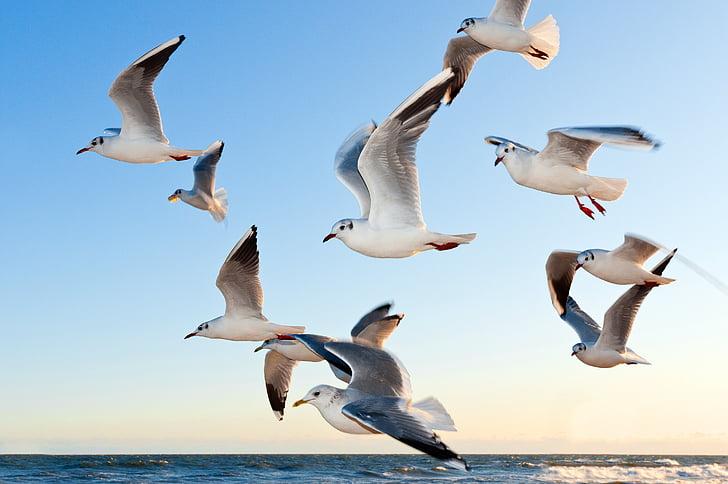 gabbiani, uccello, volare, Costa, tramonto, mare, stato d'animo