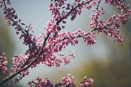 branch, twig, nature, blossoms, blooming, pink, purple