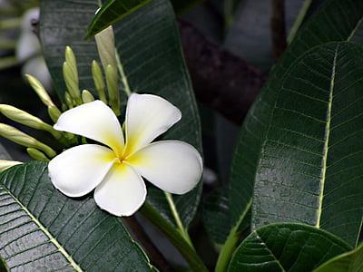 꽃, 프 르 메리 아, plumeria, 하얀, 열 대, 노란색, 꽃