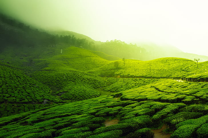 tea plantation, landscape, scenic, greenery, agriculture, india, crop