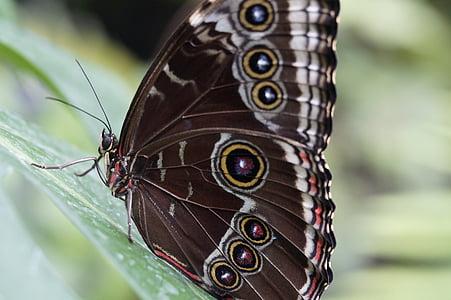 Blue morpho, perhonen, sademetsä, Morpho peleides, Sulje, Butterfly house, Zoo