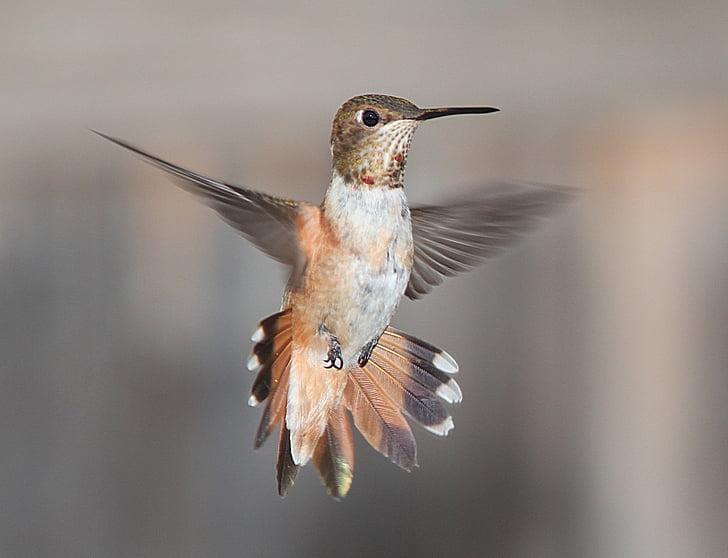 kolibrie, vliegen, Portret, dieren in het wild, natuur, vlucht, vleugels