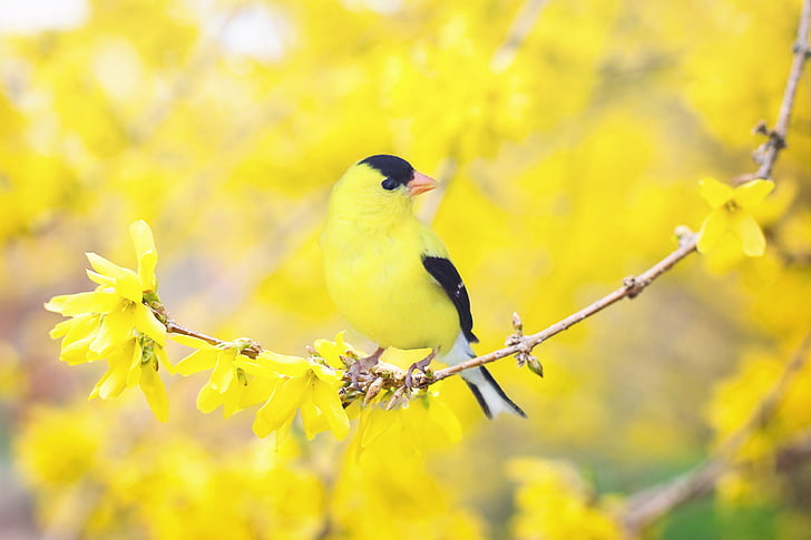 Пролетна птица, птица, Пролет, жълто, цъфтящи дървета, природата, клон