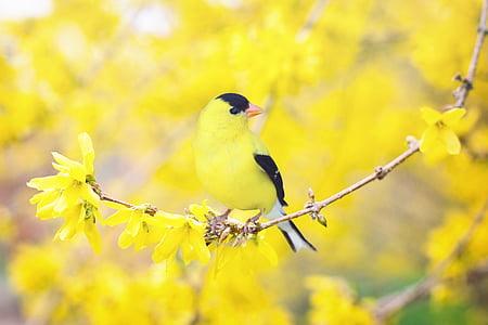 proljeće ptica, ptica, proljeće, žuta, cvjetnice stabla, priroda, grana