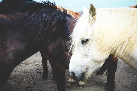 động vật, cận cảnh, bờm ngựa, con ngựa, động vật có vú, con ngựa, động vật