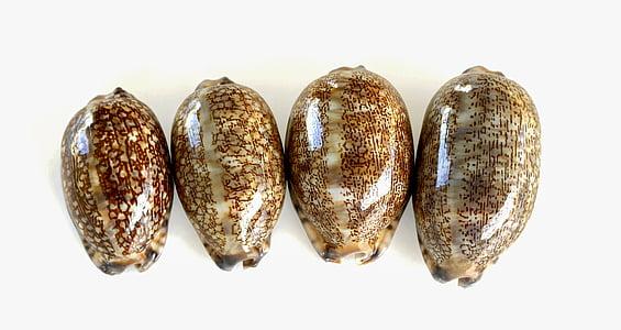 snäckskal, snäckor, havet, snigel, Shell, släta skal, marina djur