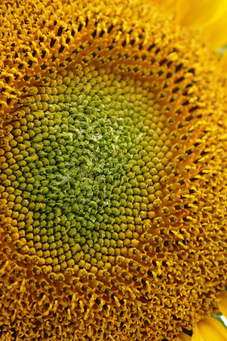 подсолнечник, макрос, Семена, желтый