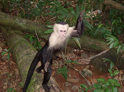 costa rica, jungle, monkey, wildlife, animal, creature, nature