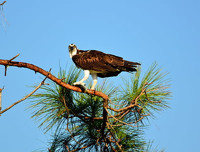 Osprey, lintu, Wildlife, saalis, Flying, Luonto, Wild
