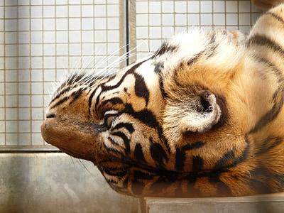 sumatran tiger, tiger, cat, predator, dangerous, fur