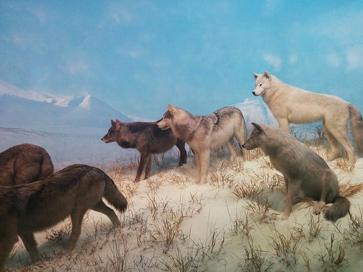 wolves, wolf, pack, wildlife, wild, animal, predator