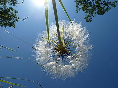 võilill, loodus, Hõbehaigur võilill, seemned, taimed, sinine, suvel