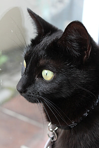 cat, black cat, pet, black, feline, kitty