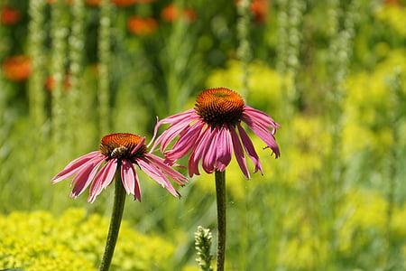 barret per al sol, Echinacea, flor, Echinacea purpurea, planta medicinal, porpra coneflower, coneflower