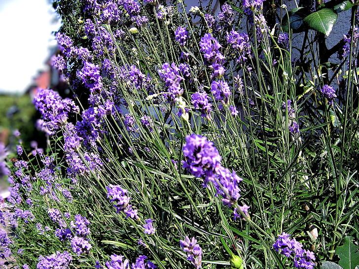 violetinė, Levanda, levandų gėlės, Lavandula angustifolia, Gamta, gėlė, vasaros