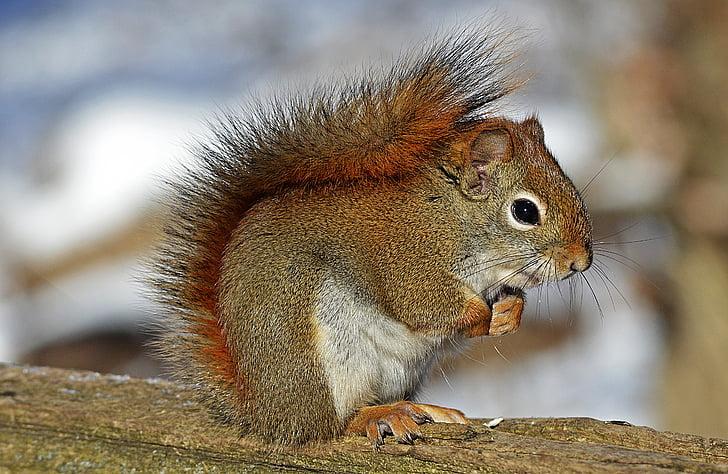 Crvena vjeverica, glodavaca, priroda, biljni i životinjski svijet, životinja, okoliš, slatka