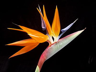 bird of paradise, flower, tropical, exotic, nature