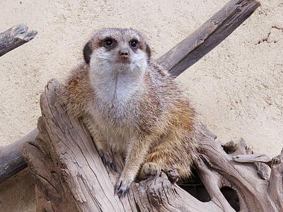 Meerkat, Mangust, Calgary zoo, Nunnu