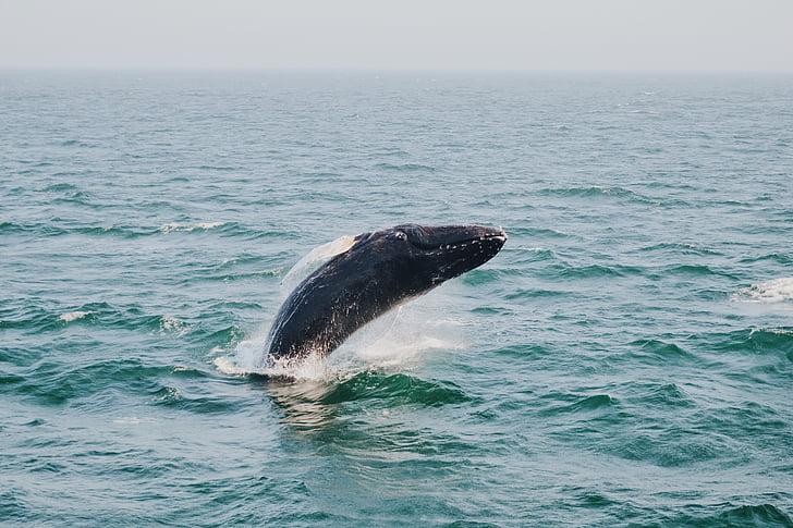 havet, Ocean, vatten, vågor, naturen, Horisont, Dolphin