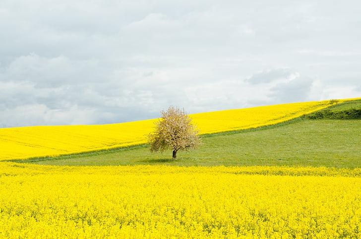 camp de colza, camp, primavera, primavera, arbre