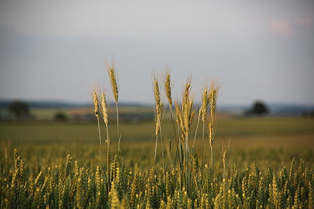 cornfield, spike, cereals, grain, field, agriculture, evening sky