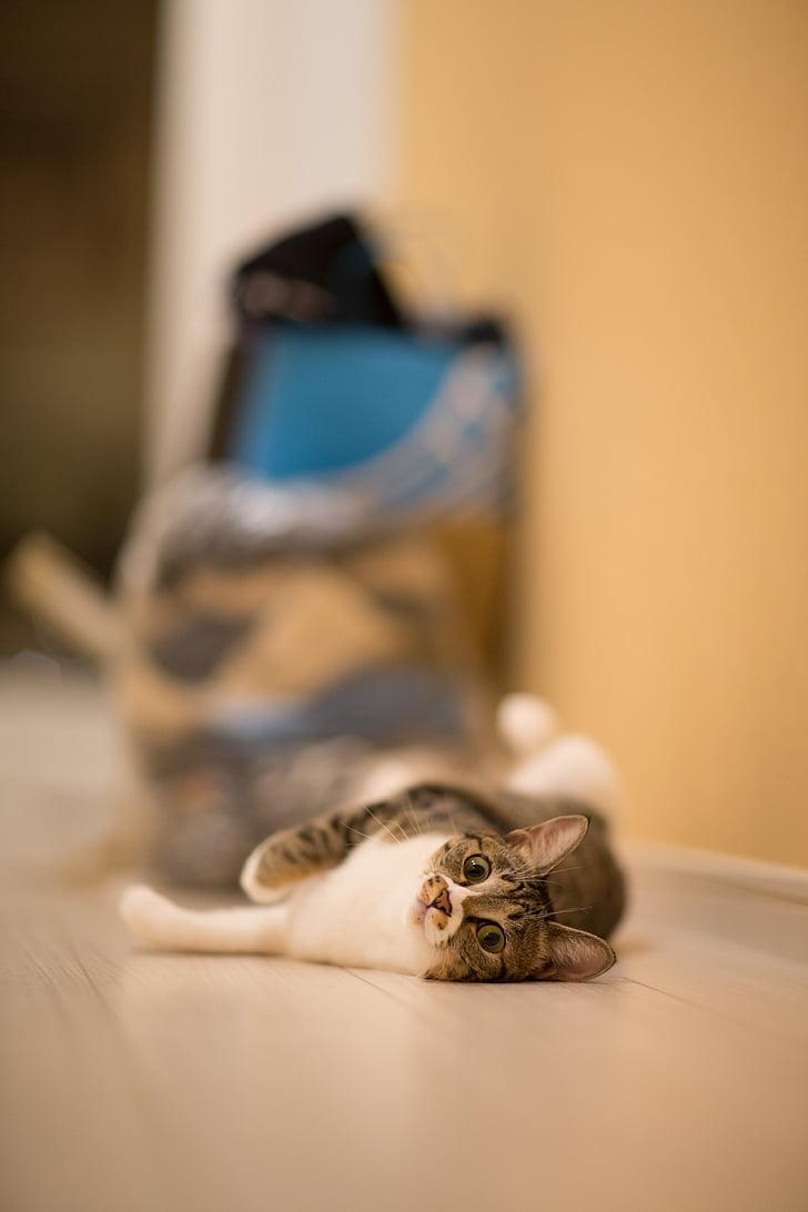 котка, домашен любимец, животните, домашни любимци, закрито