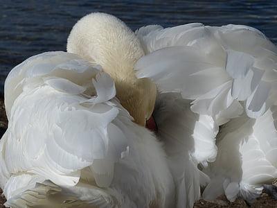 Лебедь-шипун, Лебедь, очистить, птица, Река, озеро, воды