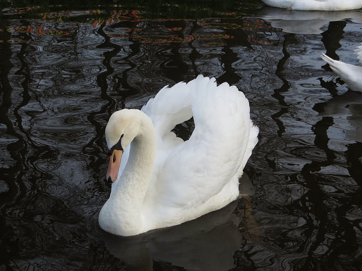 лебед, природата, водолюбивите птици, плуване, птица, лебеди, бяло