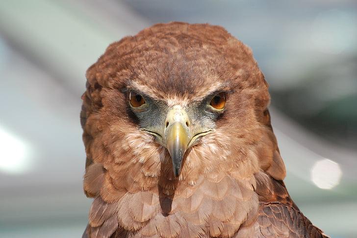 Eagle, Raptor, lintu, nokka, silmät, haukkametsästys, höyhenpeite