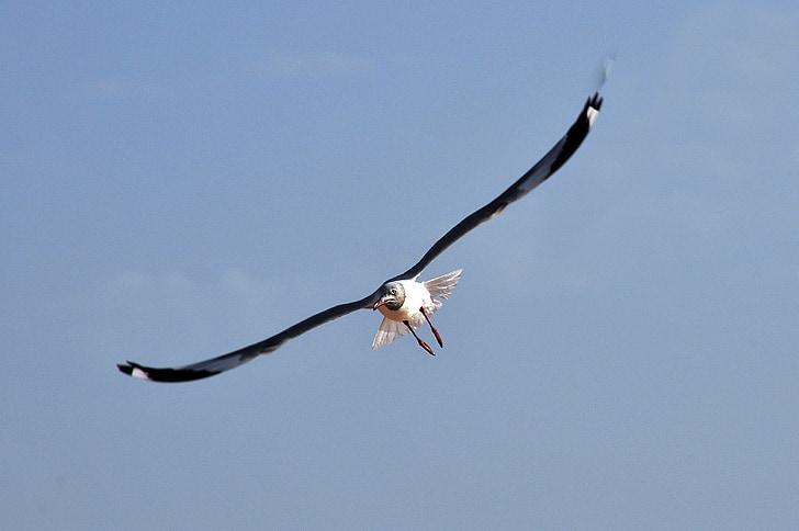 Чайка, птица, полет, Птичият полет, морска птица, Чайка, Бретан
