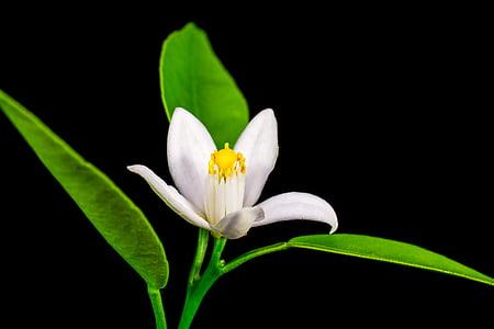 taronger, flor petita, blanc, groc, natura, flor, planta
