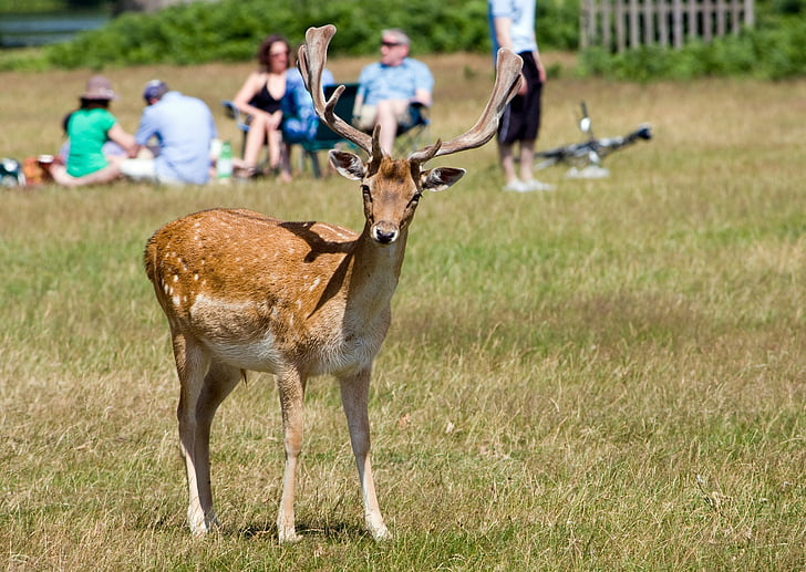 deer, roe deer, animal, wildlife, close-up, pretty, nature