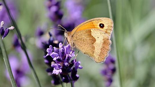 Likaon (mitologia), Motyl, Erebia, edelfalter, łąka brązowy, Natura, owad
